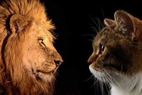big house cats little leos why lions are just like big baby house cats front page meews