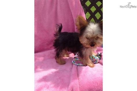yorkie puppies for sale in ri terrier yorkie puppy for sale near rhode island 6c9a79f7 3651