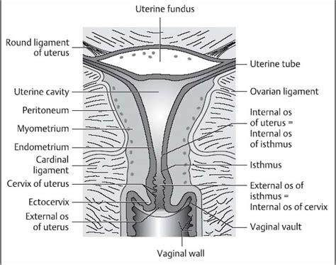 uterus bladder diagram diagram of uterus and bladder diagram of blood supply to