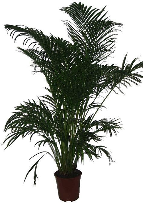 goldfruchtpalme wohnzimmer palme zimmerpflanze innenarchitektur und m 246 belideen