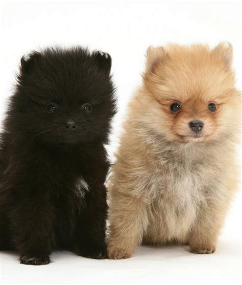pomeranian coat colors 10 cool facts about pomeranians pomeranian puppies