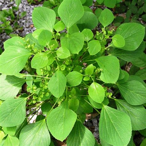 Anting Anting Nama 6 tanaman obat untuk penderita asam urat
