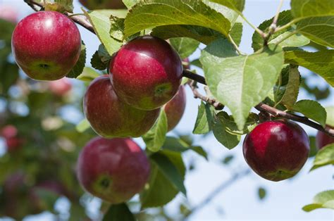 apple zone zone 7 apples tips on planting apple trees in zone 7 gardens