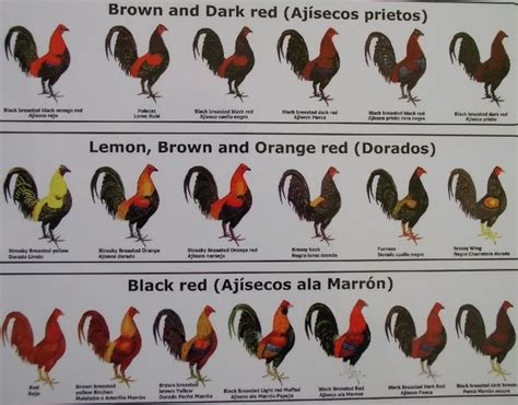 rooster colors names of different colors of roosters chickens black