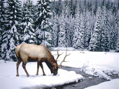 animals in the winter winter animal 1600x1200 wallpapers 1600x1200 wallpapers pictures free