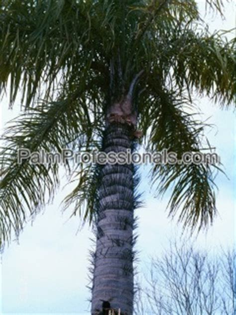 acrocomia aculeata palm tree for sale in houston
