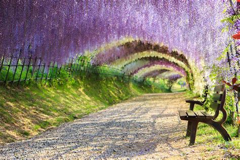 wisteria flower tunnel japan the world s most beautiful tree tunnels revealed charismatic planet