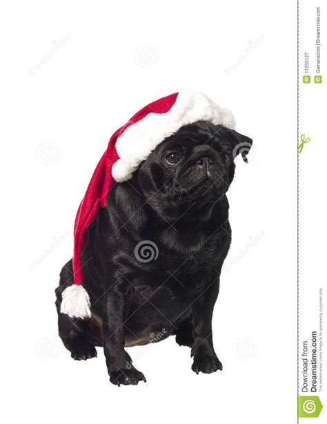 pug with hat black pug with a santa hat royalty free stock photography image 11255127