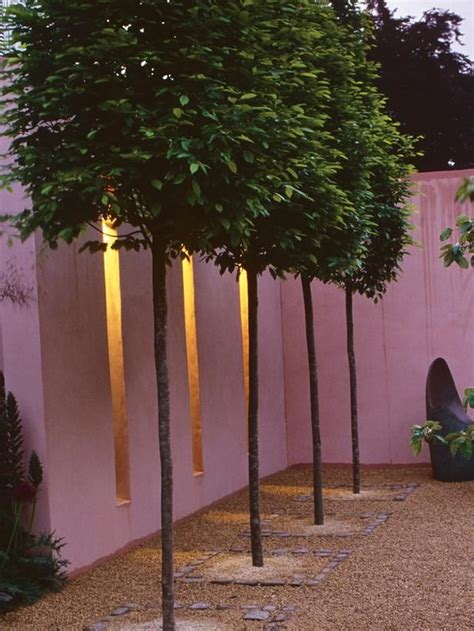Patio Trees Uk by Trees That Are Pleached Or Trained And Trimmed To Form A