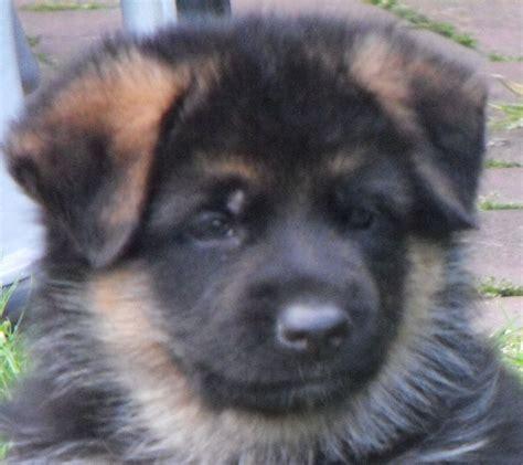 coat german shepherd puppies coat german shepherd puppies sunderland tyne and wear pets4homes