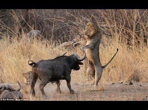 Ox Natgeo Wildd bull vs the bull won the fight