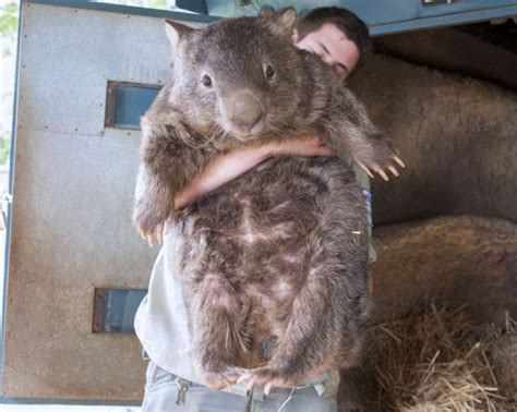 how is the world s oldest world s oldest wombat weknowmemes