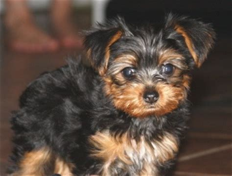 black and brown yorkie black and brown yorkie poo yorkie poo puppies pin yorkie poo 4 months