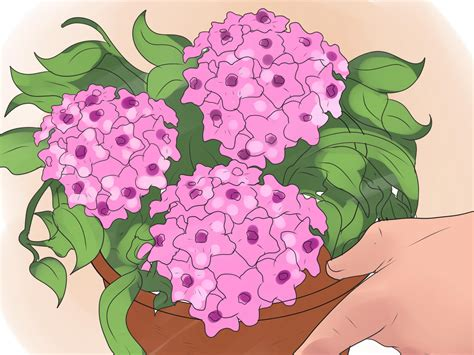 hoya housing how to care for a hoya plant 14 steps with pictures