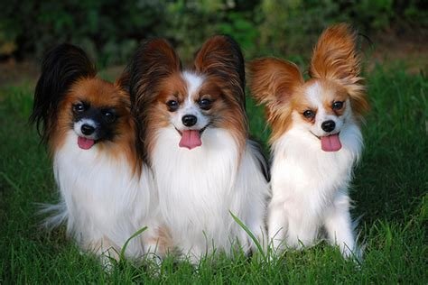 papillon puppies puppies pictures