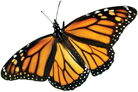 monarch butterfly the farm bill and the precipitous decline of monarch