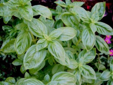 seminare basilico in vaso seminare il basilico in vaso pollicegreen