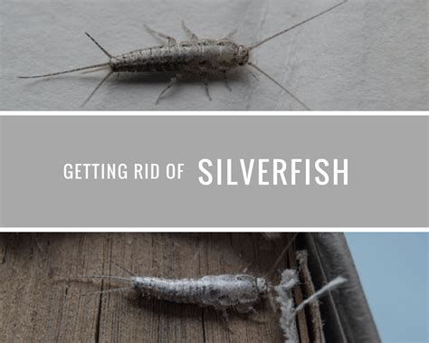 how do i get rid of silverfish in my bathroom getting rid of silverfish the best way