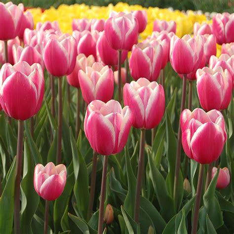 tulip jumbo tulip jumbo white flower farm