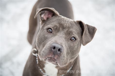 grey pitbull puppies sweet pea looking for another chance michigan shelter pet photography grand