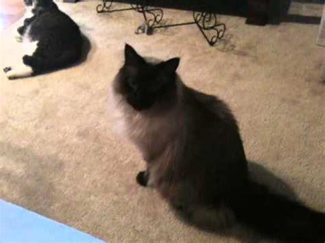 mittens talking ragdoll cat and scooch