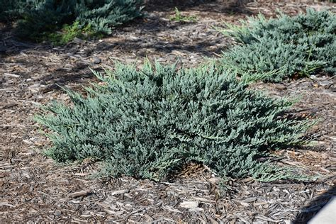 Juniper Designs Oh 15 by Blue Chip Juniper Juniperus Horizontalis Blue Chip In