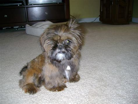 shih tzu yorkie mix facts ten most important facts about the shih tzu yorkie mix the more reasons you would