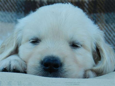 contented puppies milltimber golden retrievers golden retrievers aberdeen united kingdom