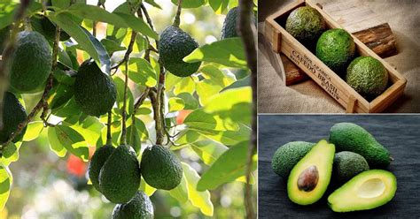 avocado  fruit  vegetable balcony garden web