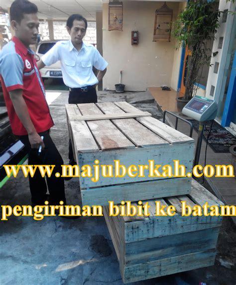 Bibit Kelengkeng Makassar pengiriman bibit tanaman ke beberapa daerah dari cv majuberkah