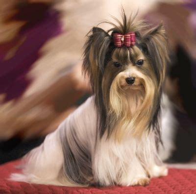 teacup yorkies for sale in va 1000 images about dogs on airedale terrier collie and grooming