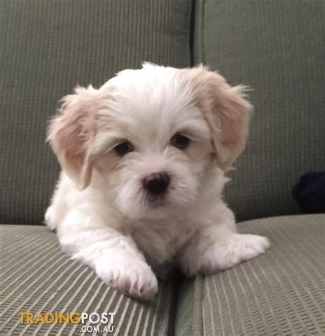 maltese cross shih tzu puppies maltese shih tzu cavalier cross puppies ideas for the house