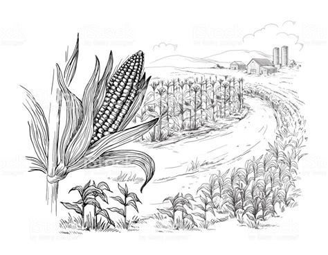 Corn Field Drawing