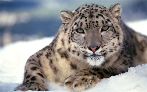 Mac Os X Snow Leopard mac os x snow leopard wallpaper hd 60 images