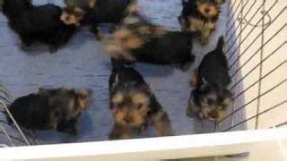 yorkie puppies for sale in spartanburg sc terrier yorkie puppies for sale in charleston south carolina sc