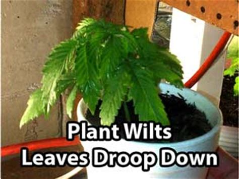 underwatering cannabis symptoms solution grow easy plant doctor diagnose your plants grow easy