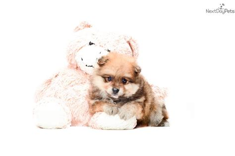 teacup pomeranian puppies for sale in ohio pomeranian puppy for sale near columbus ohio 81f76b5c d611
