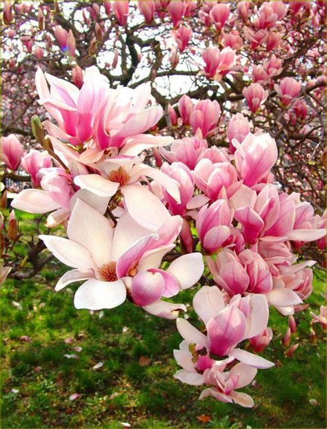 chinese magnolia tree or quot tulip quot tree flowering trees