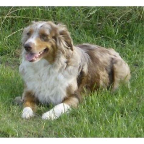 australian shepherd puppies for sale in nc australian shepherd puppies for sale in nc