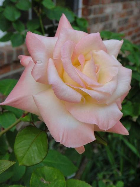 princess diana rose princess diana rose modern hybrid tea beautiful roses