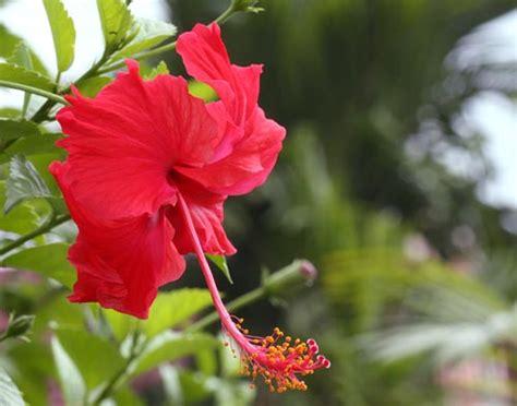 Bunga Hibiscus Scarlet the beautiful flower hibiscus bunga raya visuallens