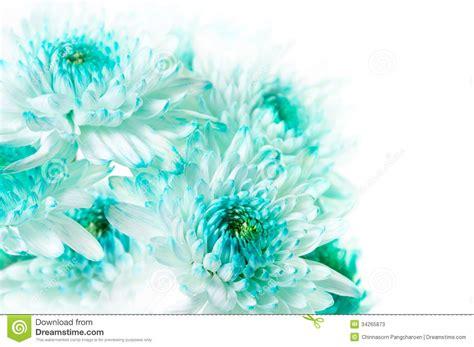 Pothos In Acqua by Vibrant Aqua Dahlia Flowers Stock Image Image 34265873