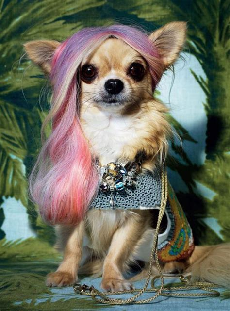 chihuahua with bangs hairstyles 100 ideas to try about hair medium length hairs older