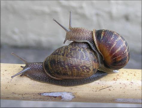 Brown Garden Snail by Cornu Aspersum M 252 Ller 1774 Brown Garden Snail