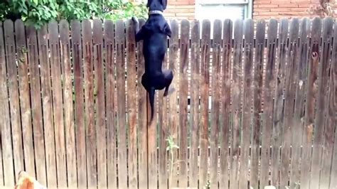 How To Keep Dog From Jumping Fence crazy dog jumps on top of a 6 foot fence super funny