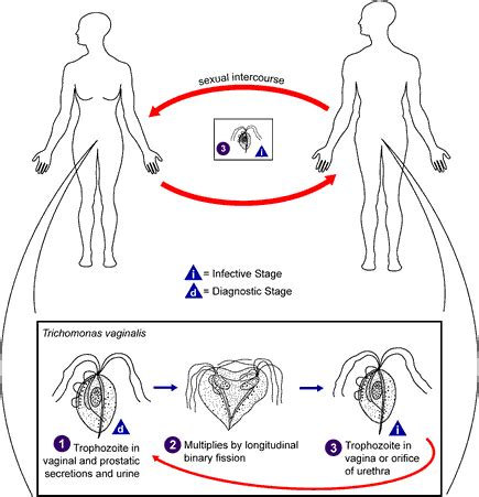 trichomoniasis life cycle