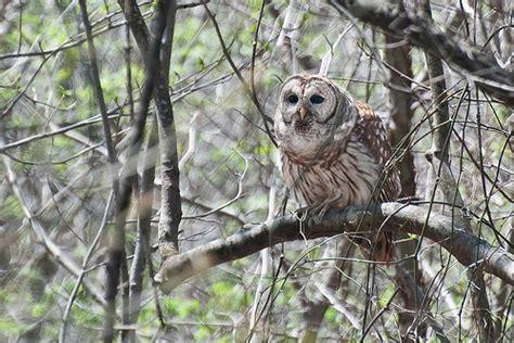 barred owl huntsville alabama flickr photo sharing
