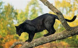 what color is a panther black panther s spots which can only be seen using an