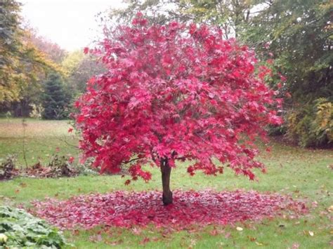 best maple tree varieties japanese maple varieties spectacular trees for your garden