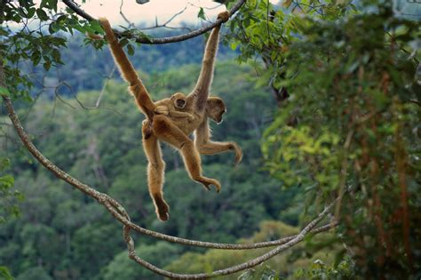 monkey wallpaper for walls animal monkey on jungle tree wallpaper hd wallpapers